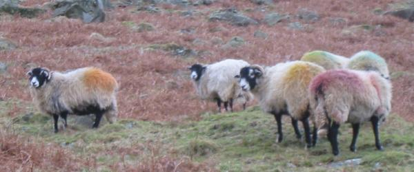 Multi-coloured Herdwick sheep, Glenridding