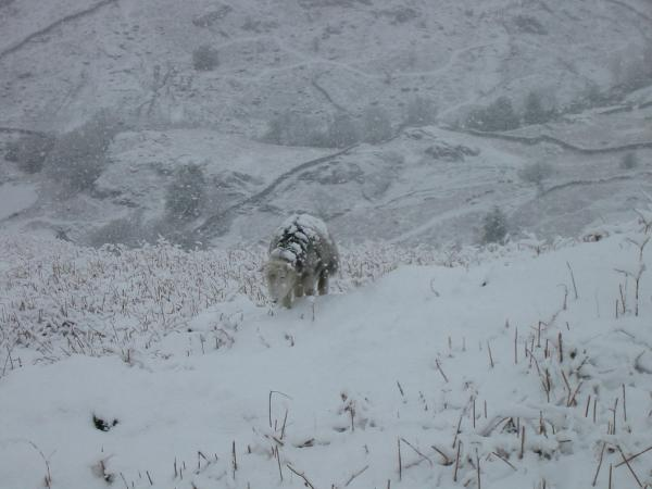 Snow covered sheep on the lower slopes of Helm Crag