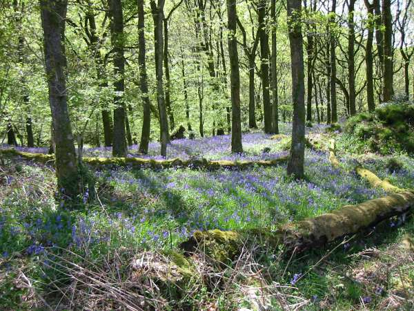 Bluebells in High Wood