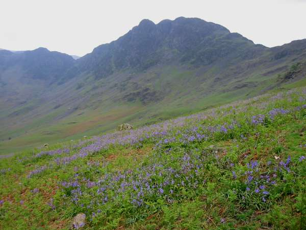 Looking across the bluebells to Haystacks
