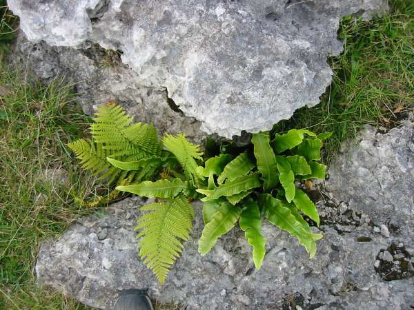 The fern on the right is Hart's Tongue Fern ('Phyllitis scolopendrium')