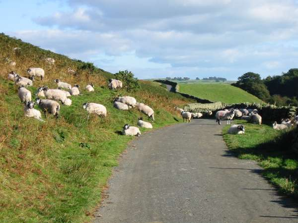 Sheep on road, Swineside
