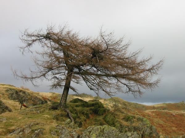 A windswept tree