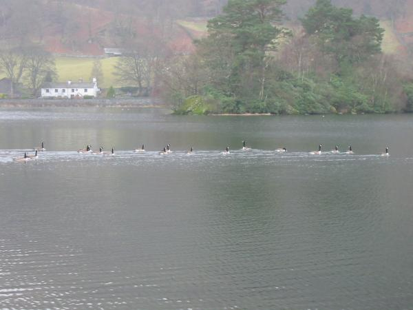 Geese on Rydal Water