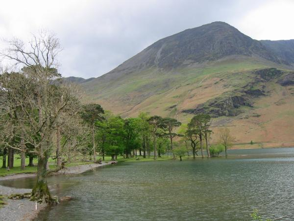 The Buttermere Pines with High Crag behind