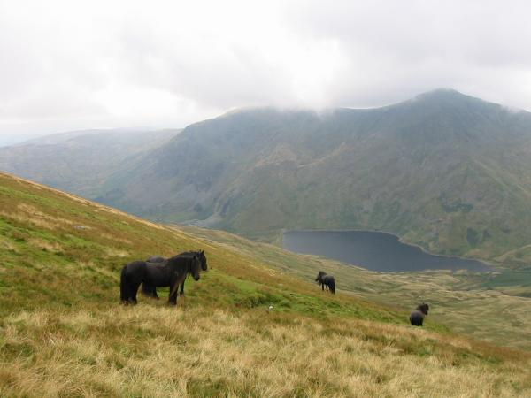 Fell ponies above Kentmere