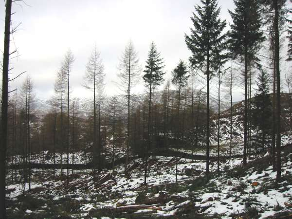 Wetherlam can just be seen through some of the remaining trees in Iron Keld Plantation