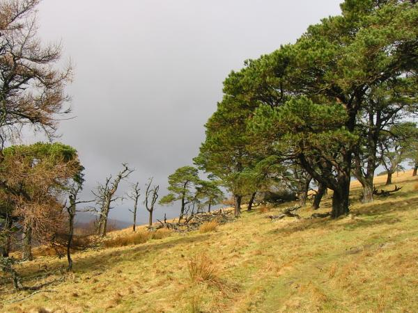 Part of the upper section of woodland on Great Mell Fell