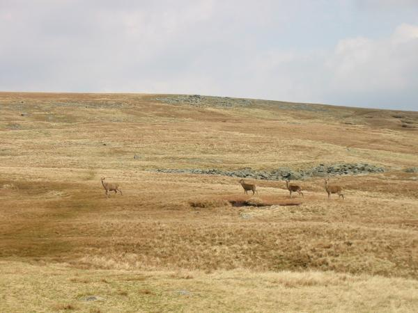 Deer between High Raise and Thunacar Knott