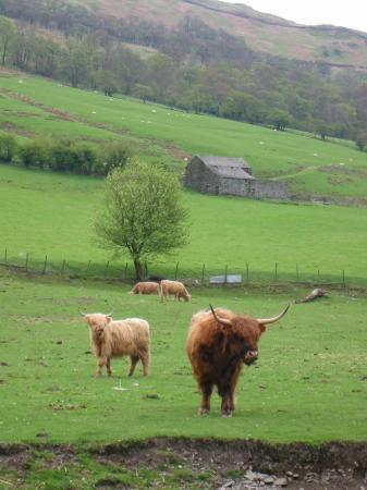 Highland cattle at Roundhill Farm