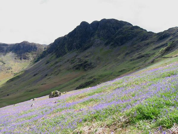 Looking across the bluebells to Haystacks from the Scarth Gap path