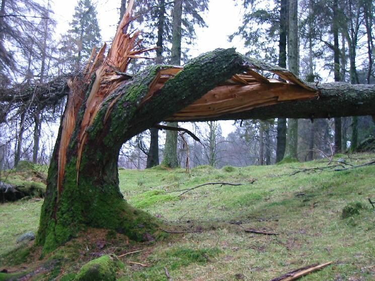 A recently fallen tree