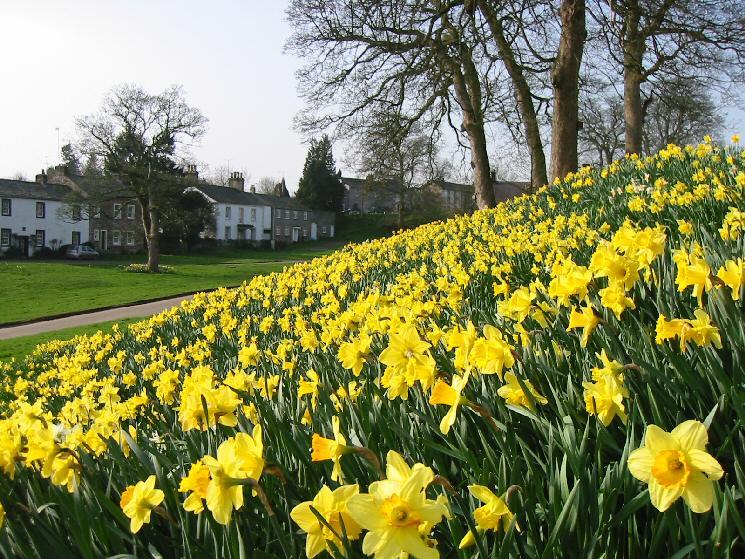 Daffodils in Askham