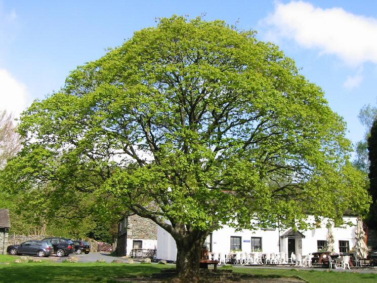 The Maple Tree, Elterwater