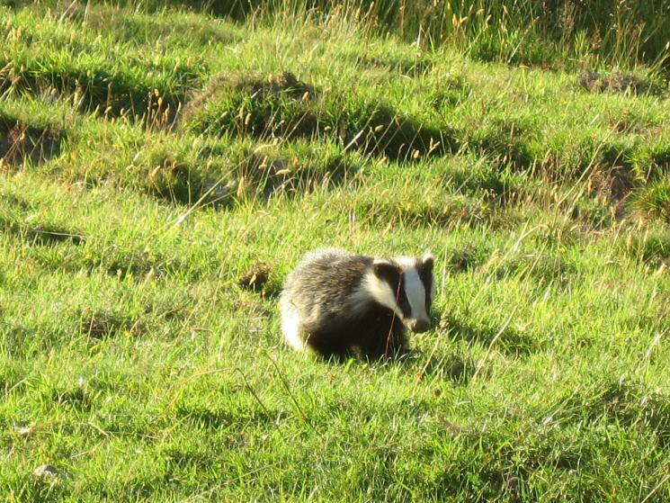 Badger seen out on the walk