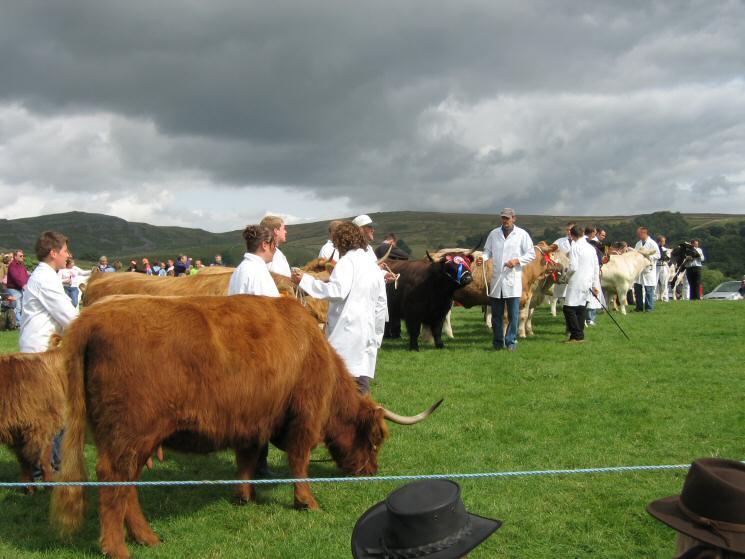 Prize winning cattle at Malham Show