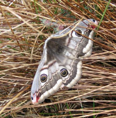 Female Emperor Moth (Saturnia pavonia) on Borrowdale Moss