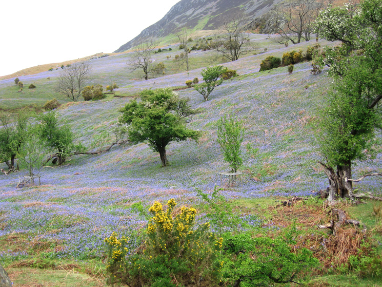 Another shot of the bluebells
