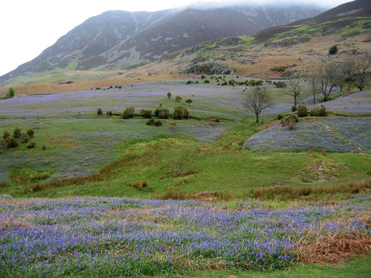 Rannerdale Bluebells and Grasmoor