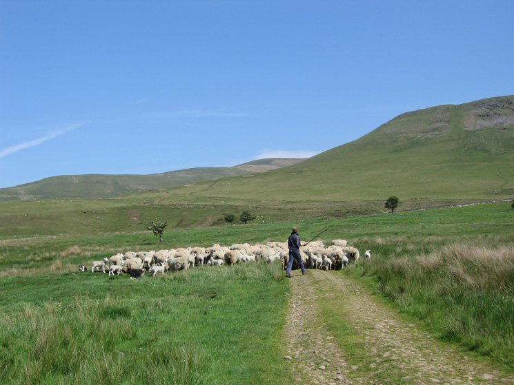 A farmer moving his sheep out on to the fells