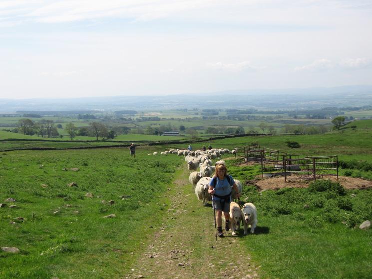 Ann Hiley leads the sheep!