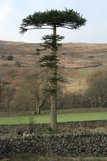 'A lonesome Pine' near Gill Bank