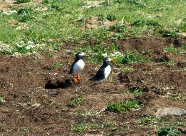 Puffins which have just come out of their burrows on the top of the Great Stack