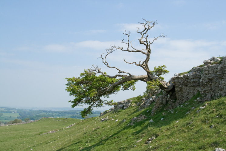Tree at the north end of Knipe Scar