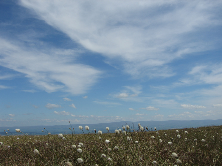 Cottongrass and the North Pennines in the distance