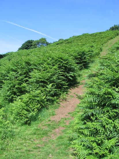 A steeper section through the bracken