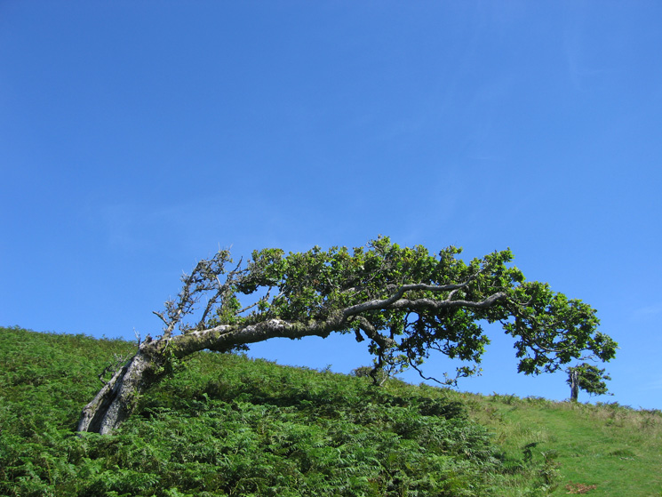 The most photographed tree in the Lake District? This windblown tree always catches the eye