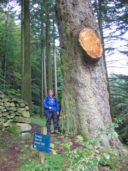 The Giant Tree, European Silver Fir planted 1820 (Silver Fir Abies alba Pectinata)