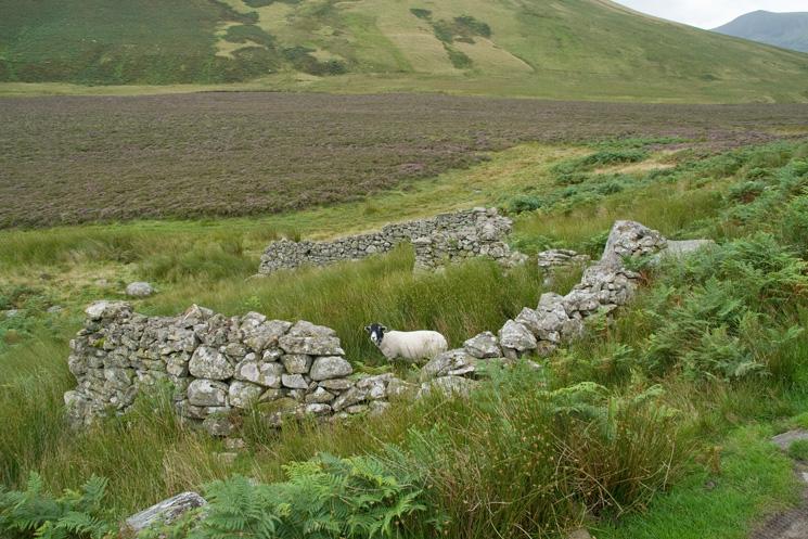 The bield, with sheep, at NY306309