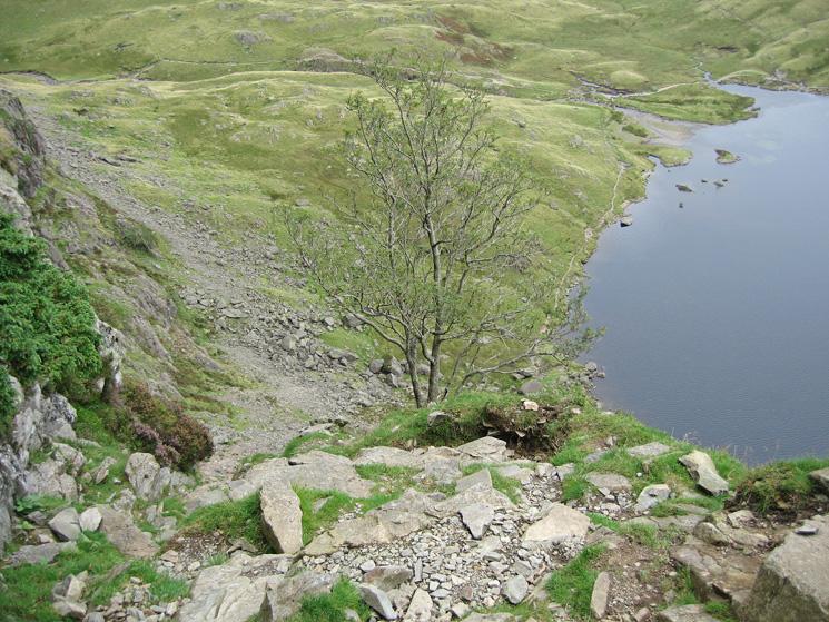 The 'third' ash tree