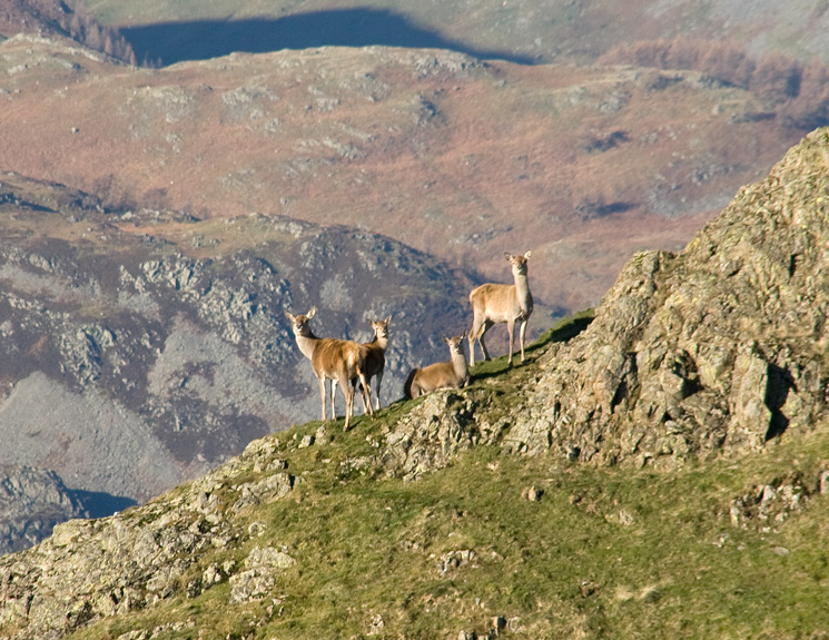 Zooming in on some red deer on Angletarn Pikes' north top, having spotted me they soon depart