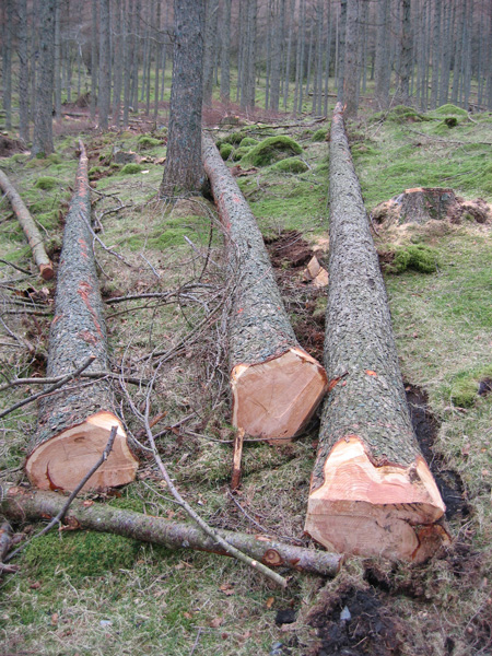 The National Trust are thinning Burtness Wood