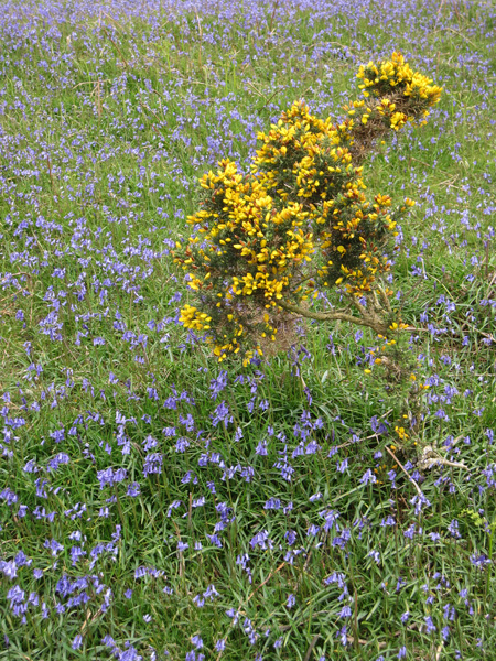 Bluebells and gorse