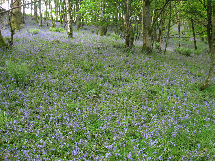 Bluebells in Hawkrigg Wood