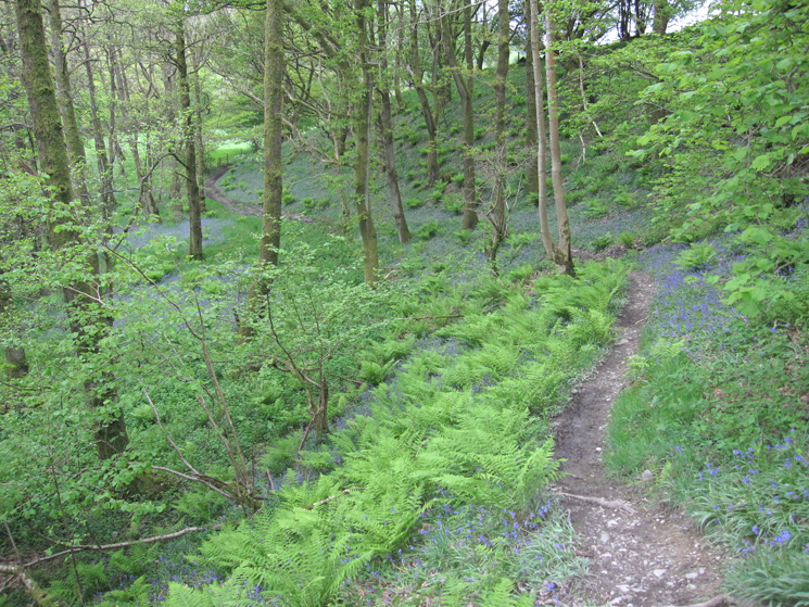 Bluefells in the woodland by the Lune