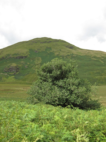 Mosedale Holly Tree with Hen Comb behind