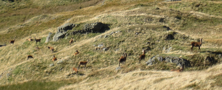 Deer below Brock Crags summit
