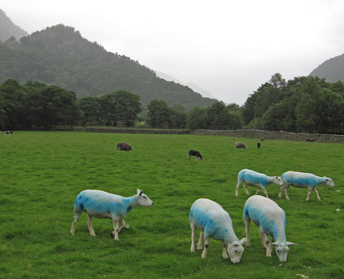 Blue sheep below Castle Crag