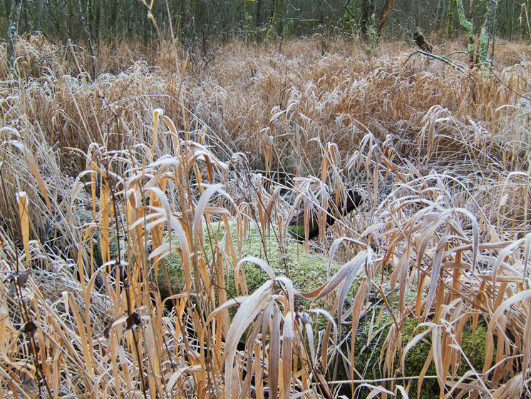 Reeds in The Ings