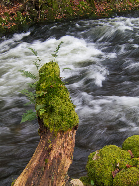 River Rothay and tree stump