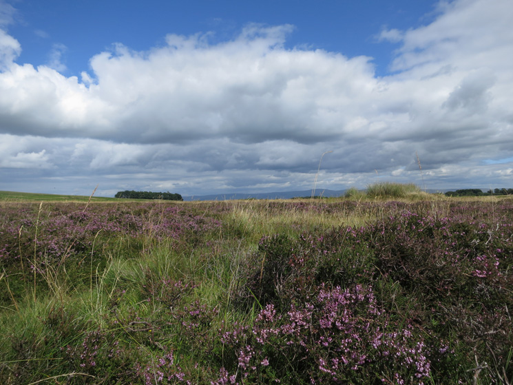 The heather is out on Moor Divock